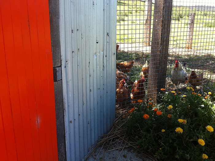 The integrated studio and chicken housing at Sams Creek